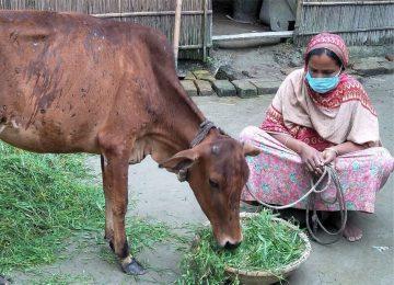 Frau in Bangladesch mit ihrer Kuh